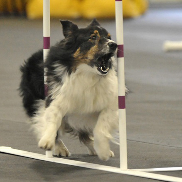 Dog Agility Training Pioneer Valley